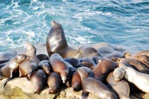 LaJolla CA Sea Lions
