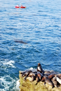 La Jolla Kayaks and Sea Lions