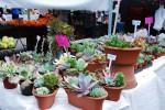 2011 La Jolla Open Aire Market Succulents