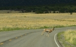 2012.07 Pronghorn at Great Sand Dune Nat'l Park